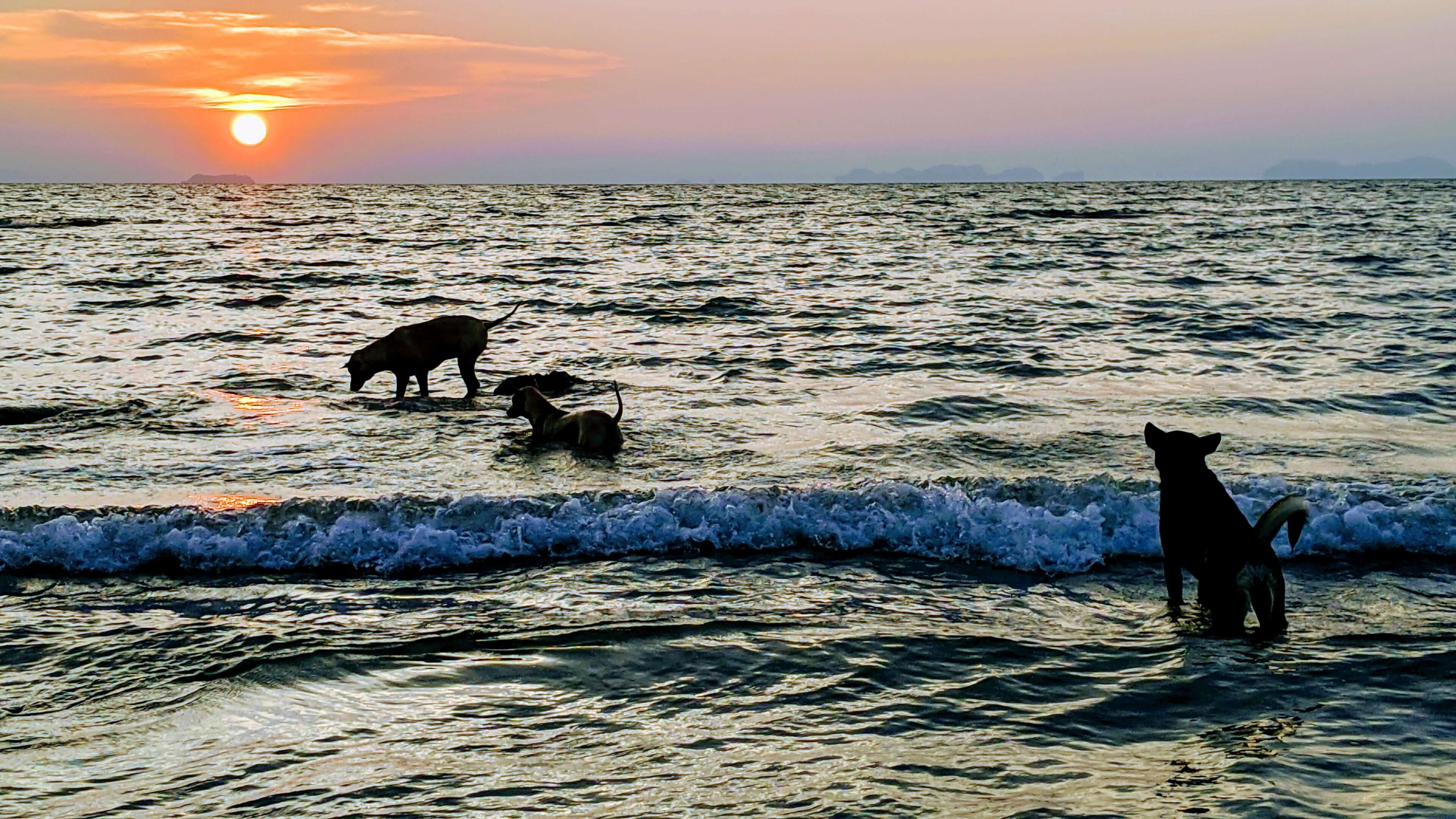 Dogs playing on Long Beach in Koh Lanta as the sun sets behind them.