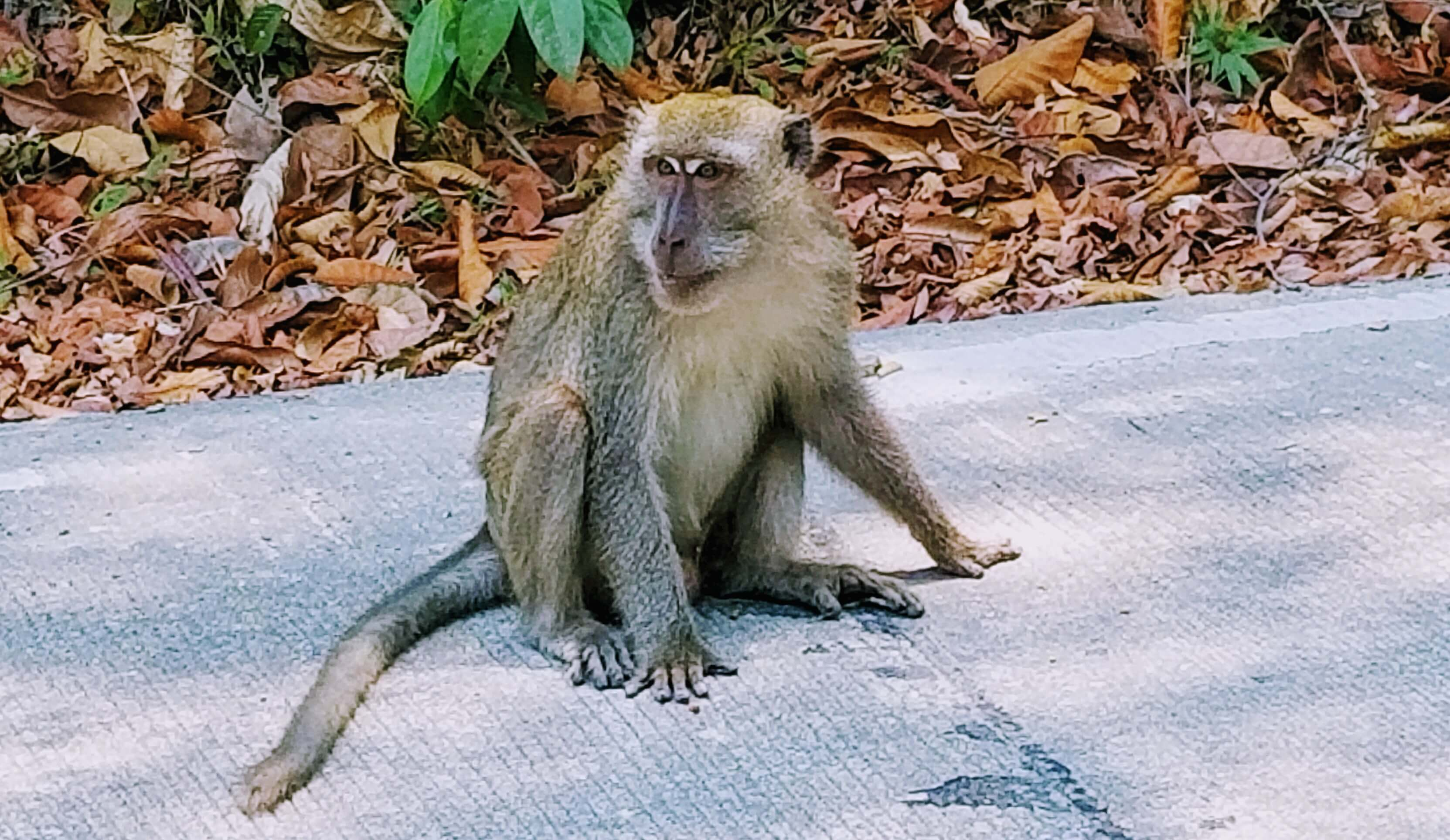 Monkey sitting at the entrance of Mu Ko Lanta National Park