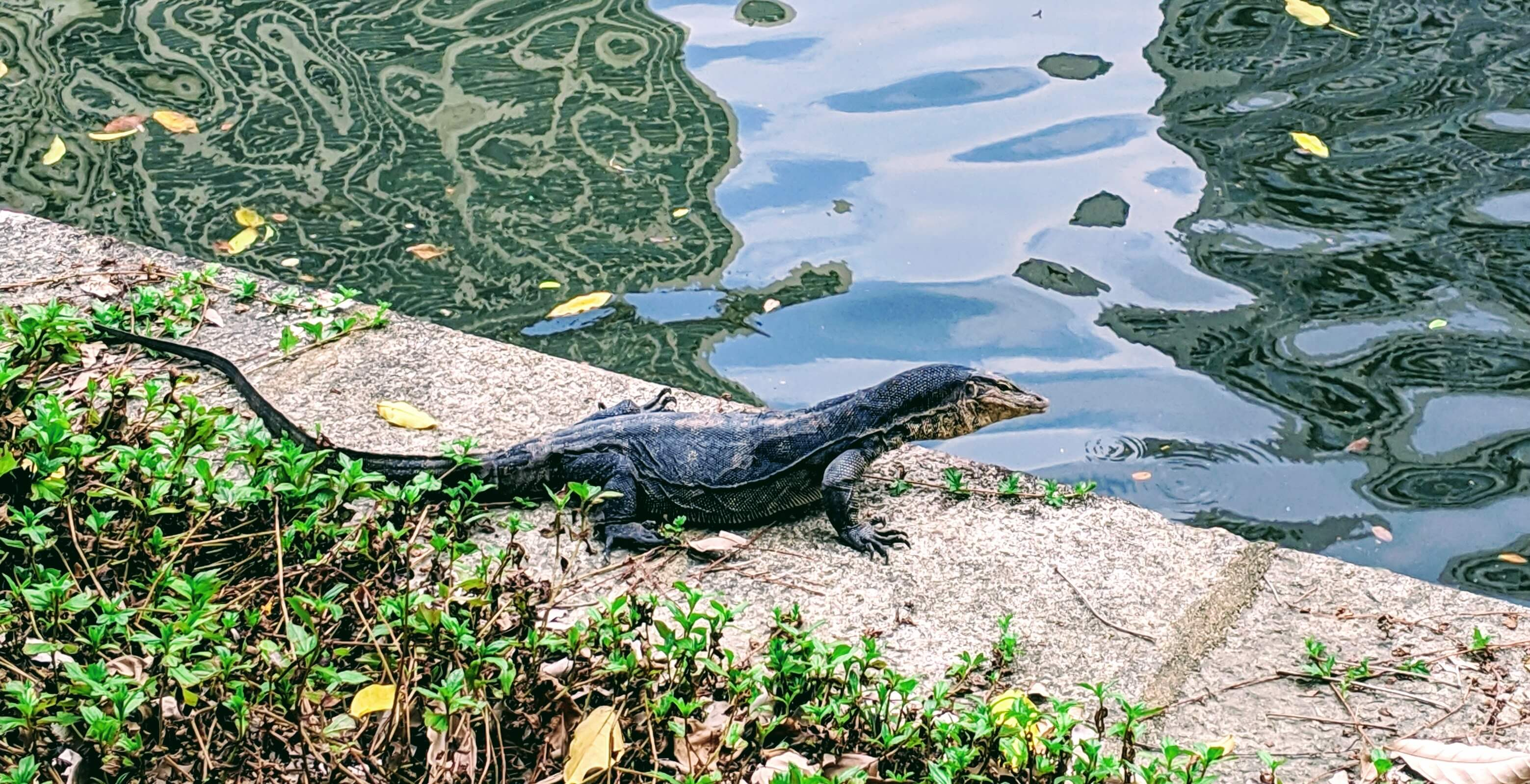 Water Monitor - body was about 5 feet long, with tail was easily 8 feet long.